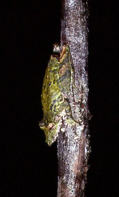 Scinax garbei - Hylidae